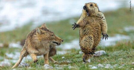 marmot fox.jpg
